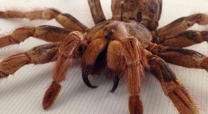 The Goliath Bird-Eating Tarantula Is The Size of A Newborn Puppy