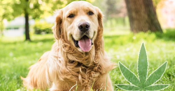 CBD Oil for Dogs: Hype or Effective Natural Remedy?