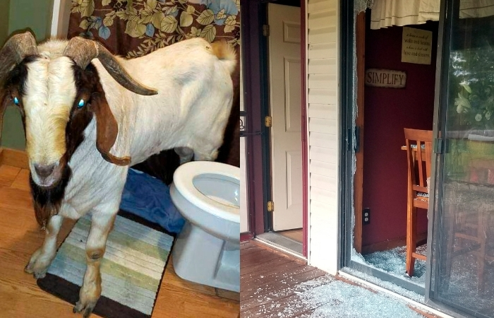 Tired Goat Rams Through Sliding Glass Door, Naps Inside Bathroom