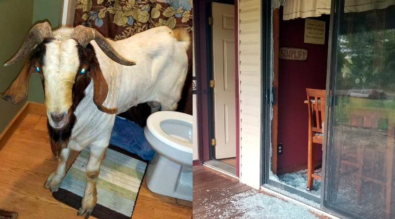 Goat rams through sliding glass door, naps inside bathroom
