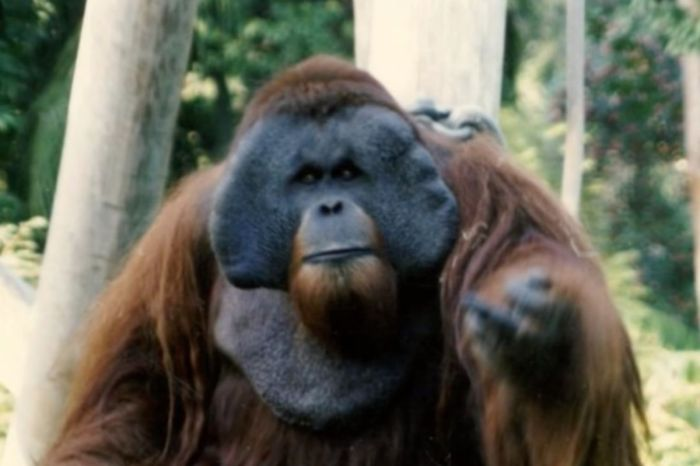 "How Ken the Orangutan Became Known as ""The Harry Houdini of The Great Ape World"""