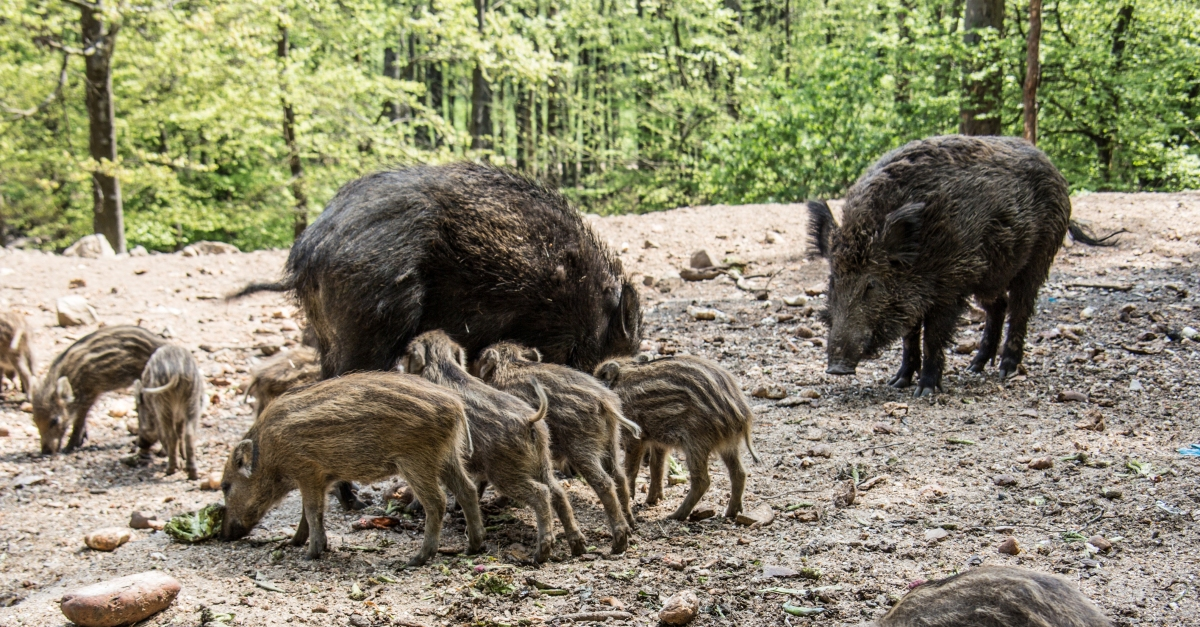 Feral Hogs Kill Texas Woman