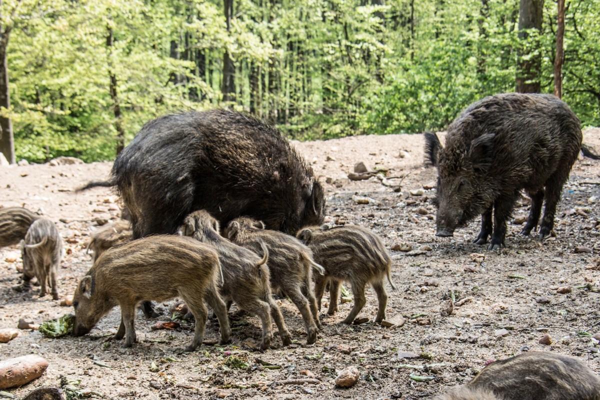 Feral Hogs Kill Texas Woman