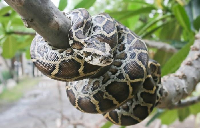 8-Foot Python Fatally Strangled Indiana Woman