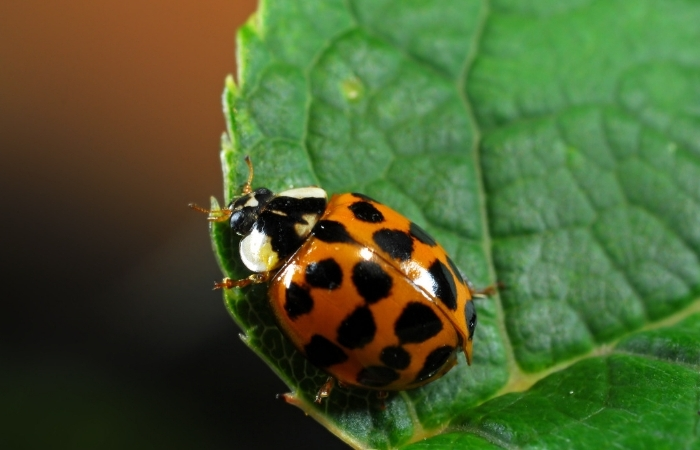 Are Asian Lady Beetles Actually Ladybugs?
