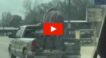 Horse Spotted in Truck Bed Going 70 MPH on Texas Highway