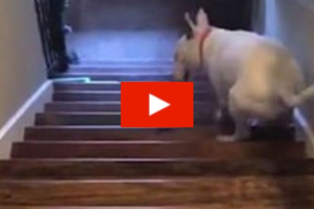 Dog Hilariously Catapults Himself Down Stairs After Struggling to Walk Down Them