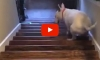 Dog Hilariously Launches Himself Down the Stairs After Struggling to Walk Down