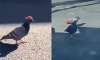 Someone in Vegas is Putting Tiny Cowboy Hats on Pigeons