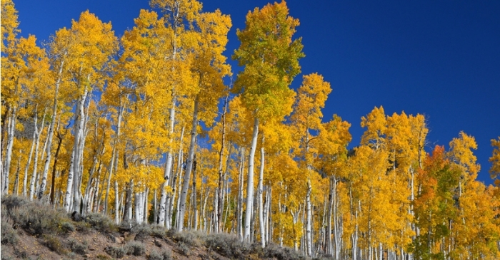Pando the Trembling Giant is The World's Largest Organism