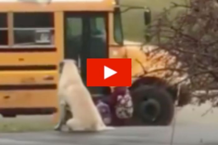 Massive Dog Waits Every Morning to Make Sure His Owner's Tiny Kids Get on the School Bus Safely