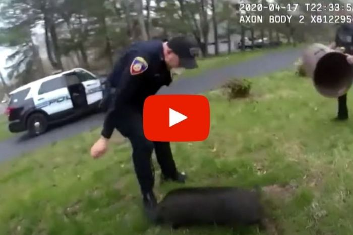 Runaway Pig Leads Police Officers on Hilarious 45-Minute Chase