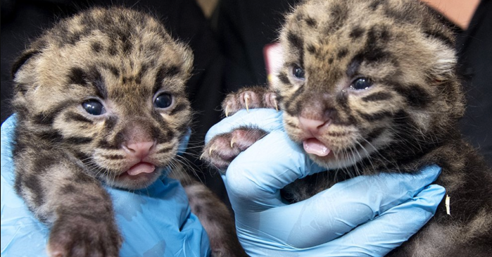 Zoo Miami Shares Picture of Adorable Clouded Leopard Kittens
