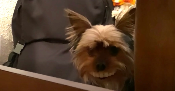 Tiny Dog Steals Owner's False Teeth and 'Wears Them'