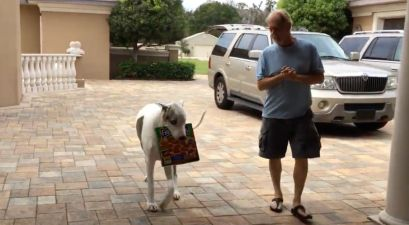 Deaf Great Dane Delivers Pizza by Reading Sign Language
