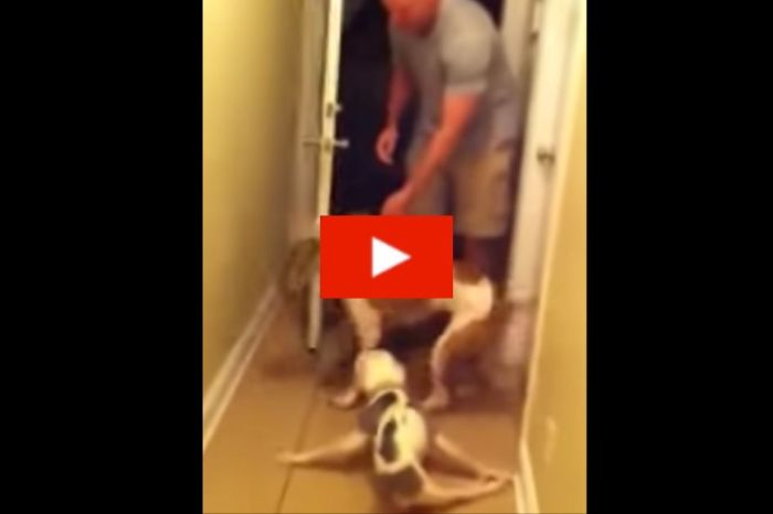 Excited Paralyzed Pitbull Greets Airman Coming Home From Deployment
