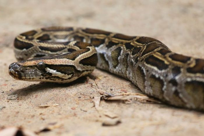 Massive Python Caught Devouring Possum While Dangling from Roof