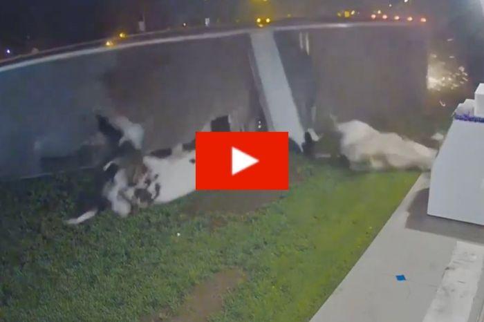 Semi-Truck Overturns, Sends Cows Flying Outside Liquor Store