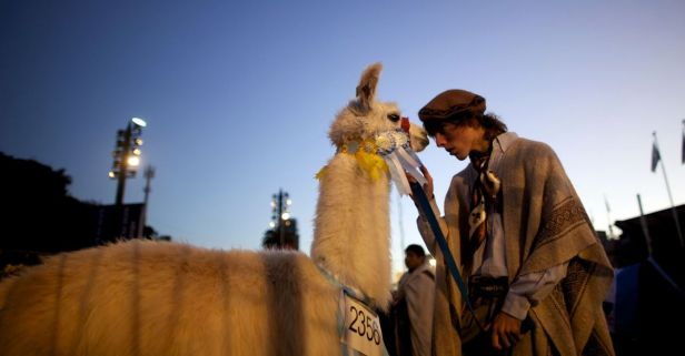 Scientists are Using Llamas to Find a Potential Treatment for COVID-19