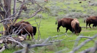 72-Year-Old Woman Suffers Multiple Wounds from Bison Attack After Attempting to Take a Picture