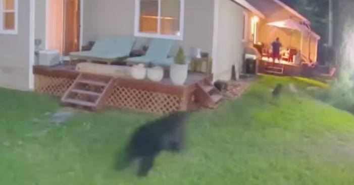 Black Bear Attack California