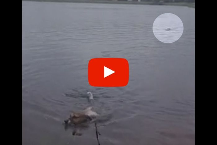 Hungry Gator Sneaks Up on Swimming Dog Completely Undetected