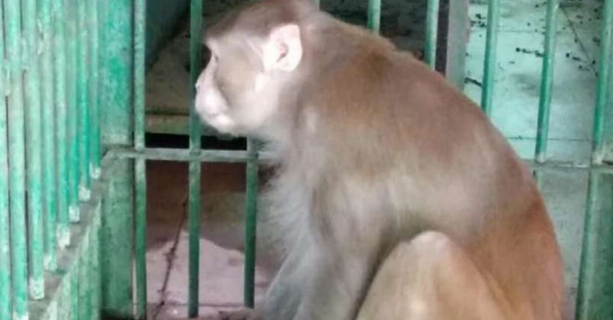 Drunk Monkey Attacks 250 Humans, Kills 1