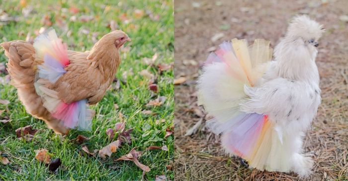 Chickens in Tutus is the Entertainment Every Farm Needs