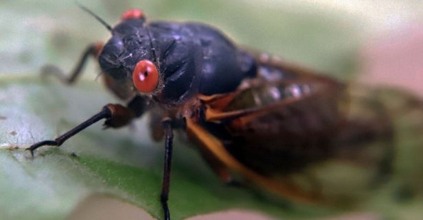 Yikes! Millions of Cicadas Set to Emerge After 17 Years Underground