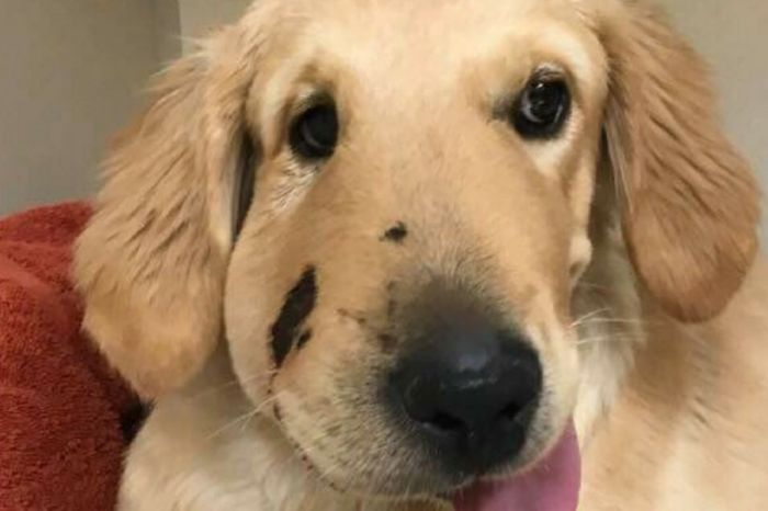 Hero Golden Retriever Bit by Rattlesnake While Defending Its Owner