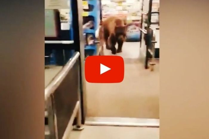 Hungry Bear Wanders Into Grocery Store, Leaves With Bag of Tortilla Chips