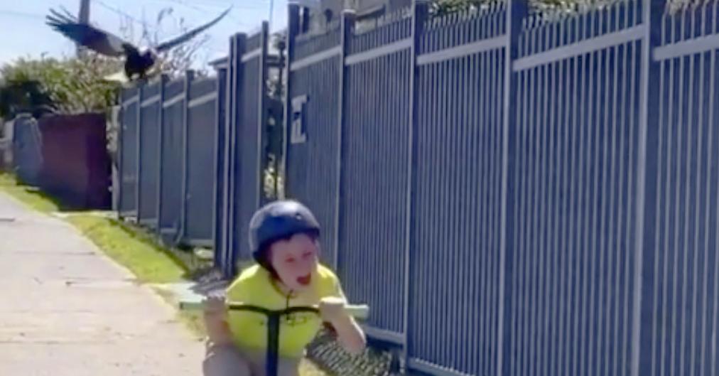 Magpie Attacks Boy Australia