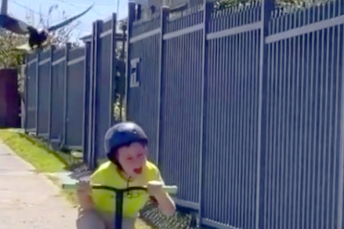 Swooping Magpie Attacks Terrified, Screaming Little Boy on Scooter