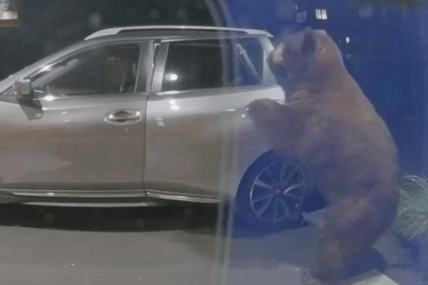 Huge Bear Seen Opening Car Door, Looting its Contents