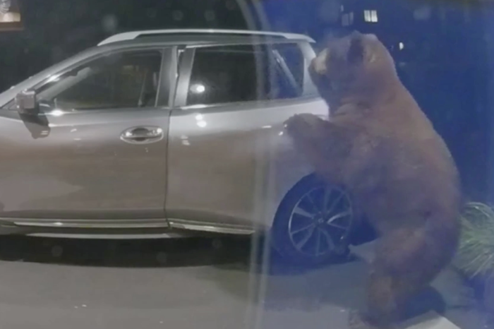 Huge Bear Seen Opening Car Door, Looting its Contents