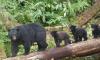 Black Bear Attacks Child