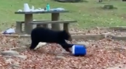 Black Bear Cooler