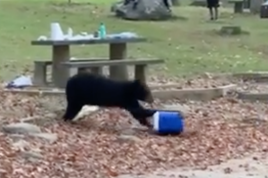 Black Bear Filmed Crashing Campsite, Going Full Yogi Bear on a Cooler