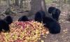Black Bears Eating Apples