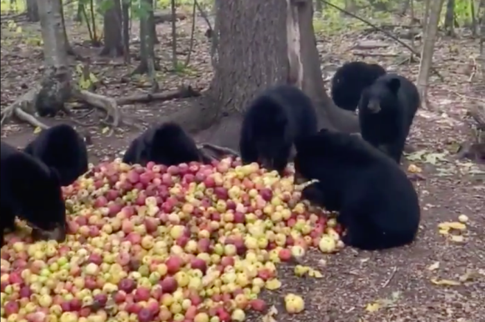 Black Bear Cubs Devour Big Pile of Apples and Purr with Delight