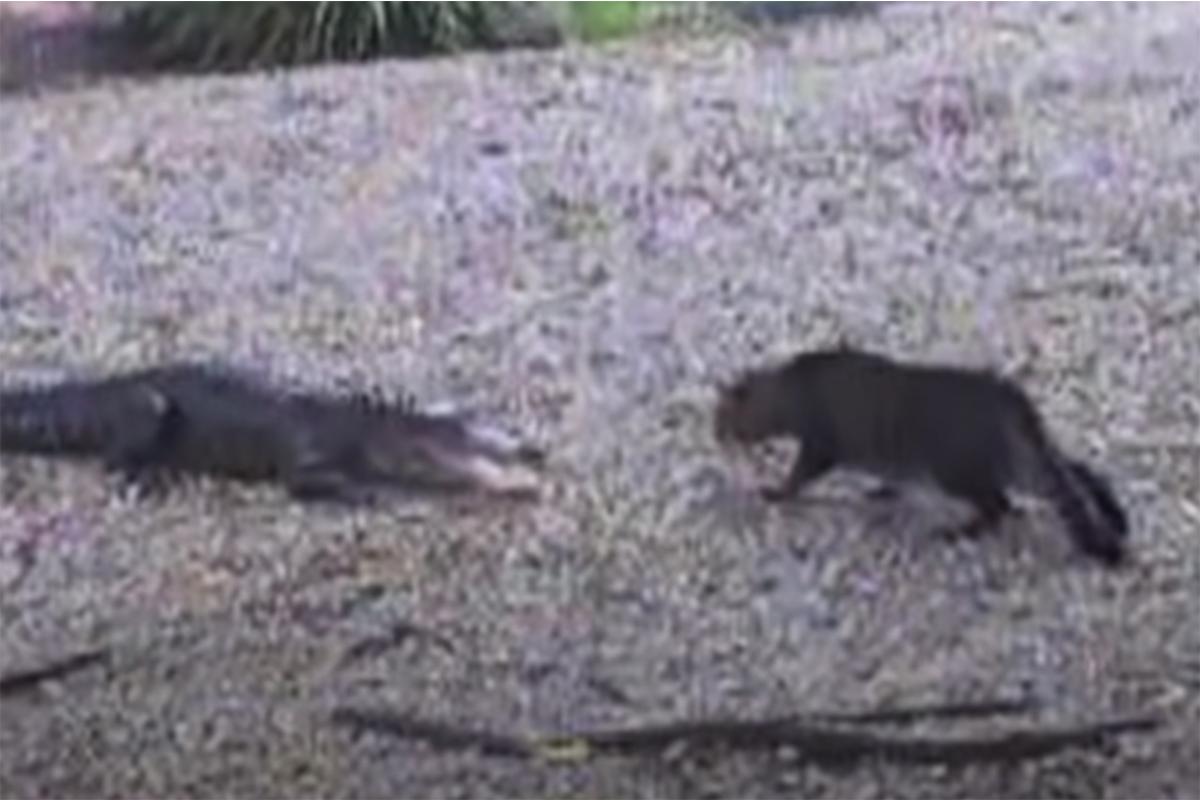 Cat vs Gator