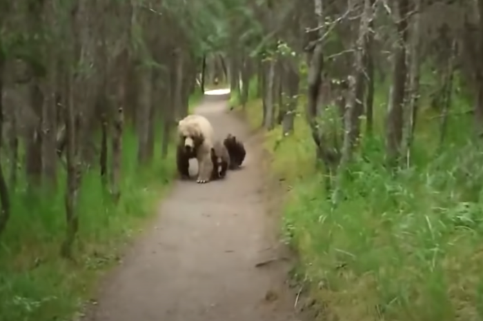 Grizzly Bear and Cubs Follow Helpless, Frightened Hiker on Trail