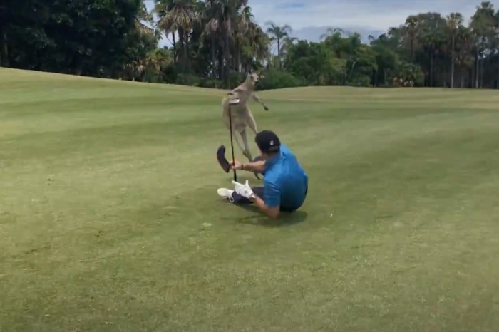 Aggressive Kangaroo Beats Up Helpless Aussie Golfer