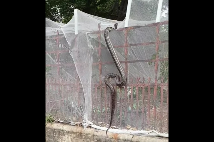 Giant Python Filmed Climbing Fence in Middle of City