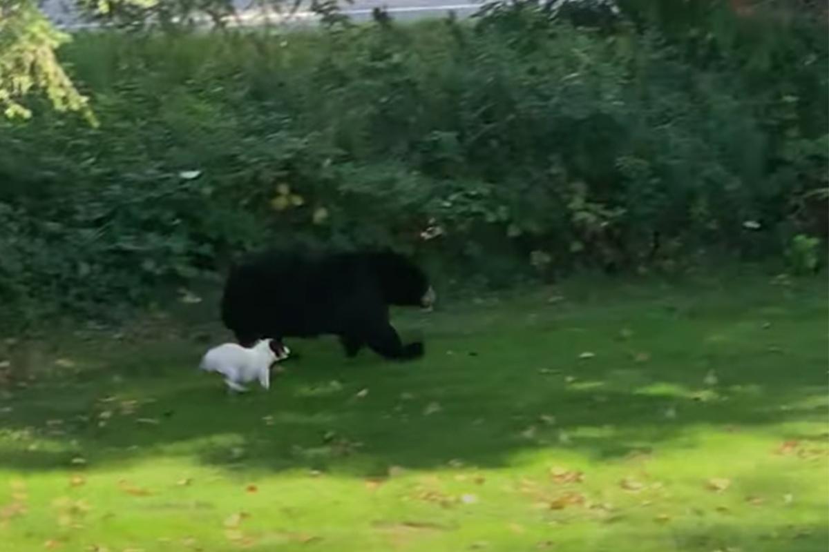 Tiny Dog Versus Bear