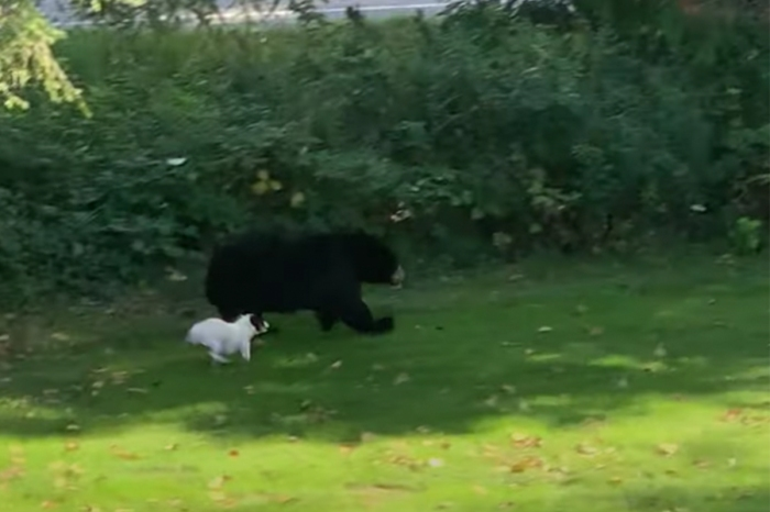Tiny Fearless Puppy Chases Bear Out of Back Yard