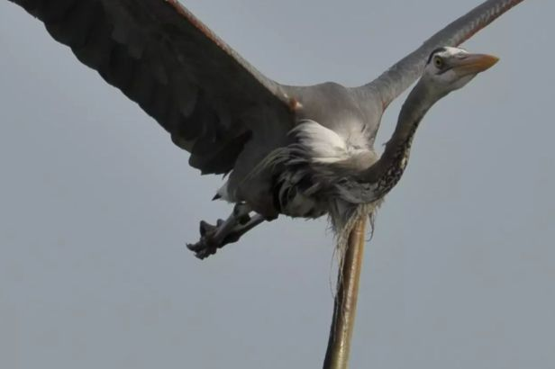 Heron Eats Eel, Eel Bursts Through its Chest Mid-Air