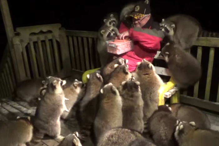 Man Swarmed by Raccoons While Trying to Feed Them