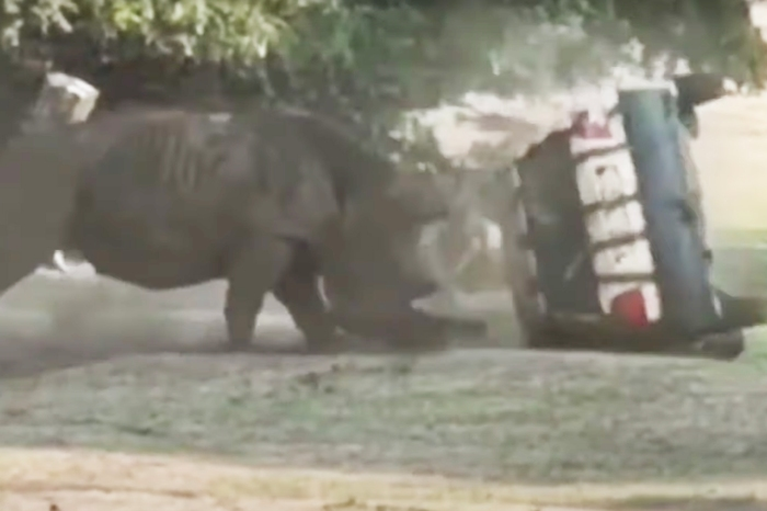 Rhino Shows Off Strength by Obliterating Safari Car with Man Inside Driving
