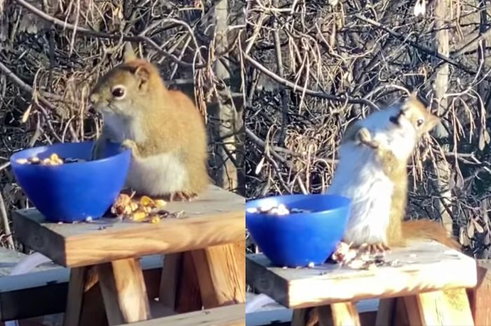 Squirrel Accidentally Gets Wasted Off Of Fermented Pears